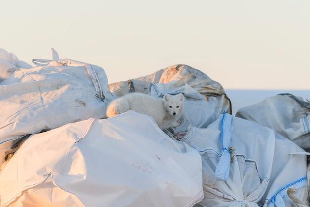 冬にゴミの中の食べ物を探している北極のfoxexツンドラに捨てる