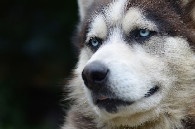 Arctic malamute with blue eyes muzzle portrait close up. this is a fairly large dog native type
