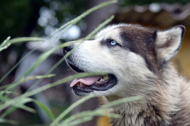 Arctic malamute with blue eyes muzzle portrait close up throught the green grass stems with selective focus