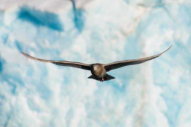 氷河を飛んでいる北極スキューア