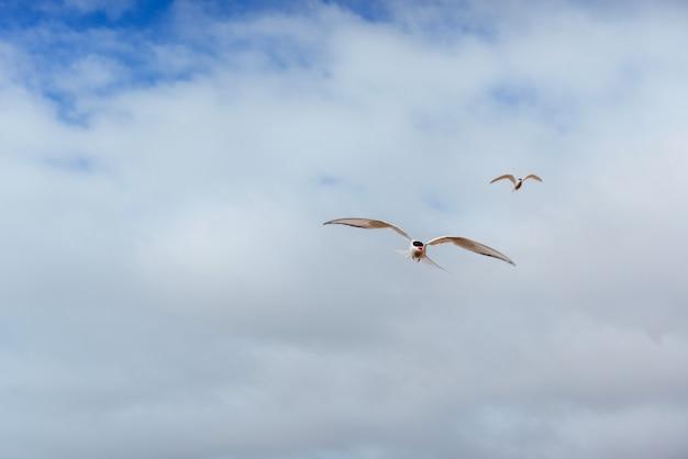 Полярная крачка птица летит над небом