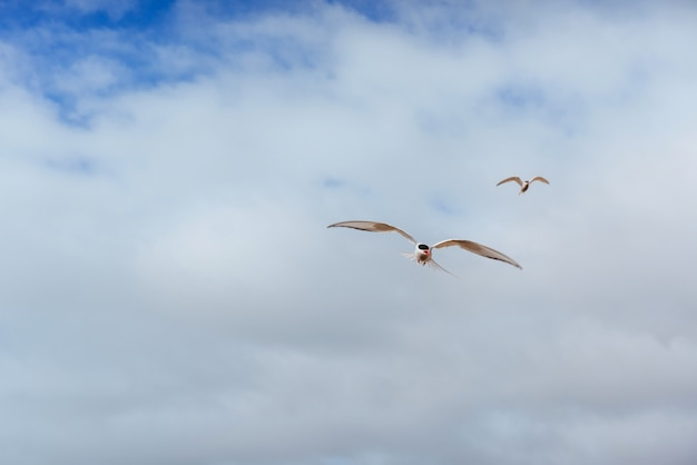 Arctic tern bird flying over sky