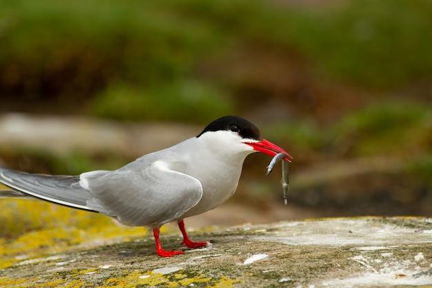 イギリスで繁殖するための魚とキョクアジサシ(sterna paradisaea)の鳥