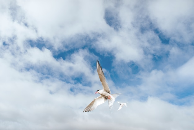Arctic tern on white background  blue cloud