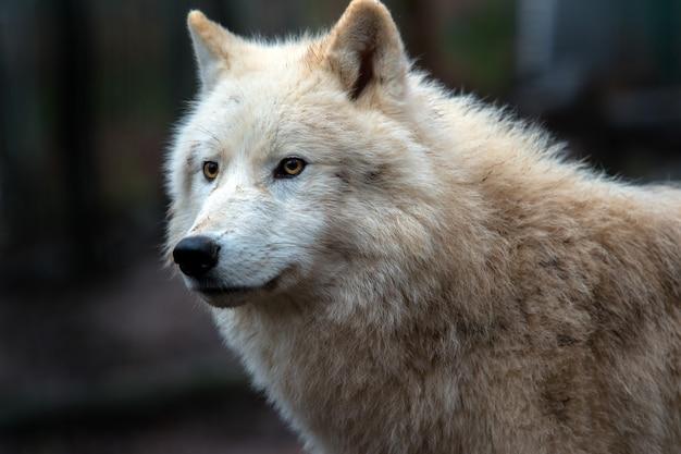 Полярный волк (canis lupus arctos) он же полярный волк