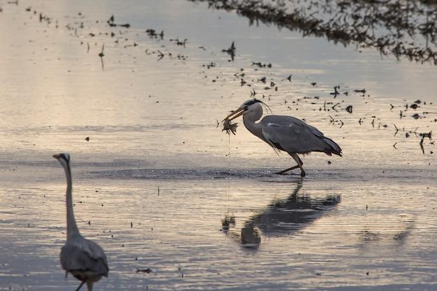 Рыбная ловля серой цапли (ardea cinerea) в поле риса в tilling день на заходе солнца в albufera валенсии.