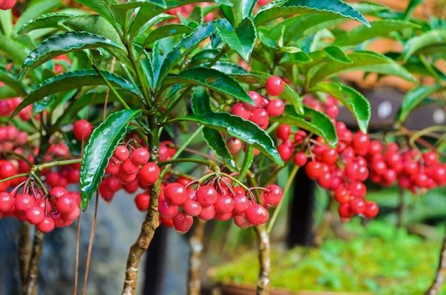 Ardisia crenata(myrsinaceae)는 작고 밝은 붉은 열매를 심습니다.