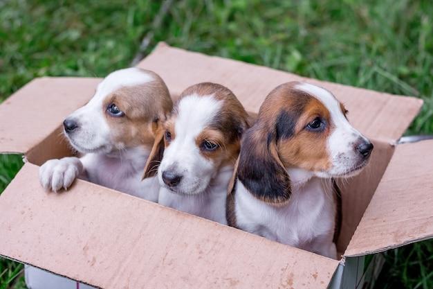 この品種の子犬はエストニアハウンドで販売されています。段ボール箱に入った3匹の子犬_