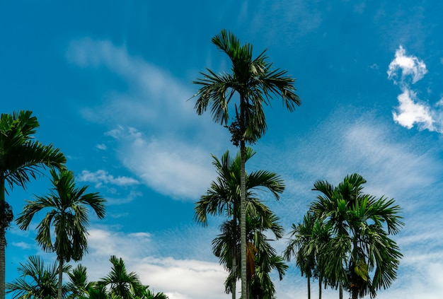 Areca nut palm (areca catechu). betel nut palm tree with blue sky and white clouds. commercial crop. tropical palm tree in garden. areca nut palm farming and plantation.