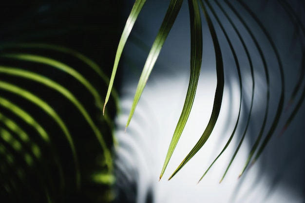 Areca palm leaf in summer light. sunlight made shadow of foliage shading to the wall.