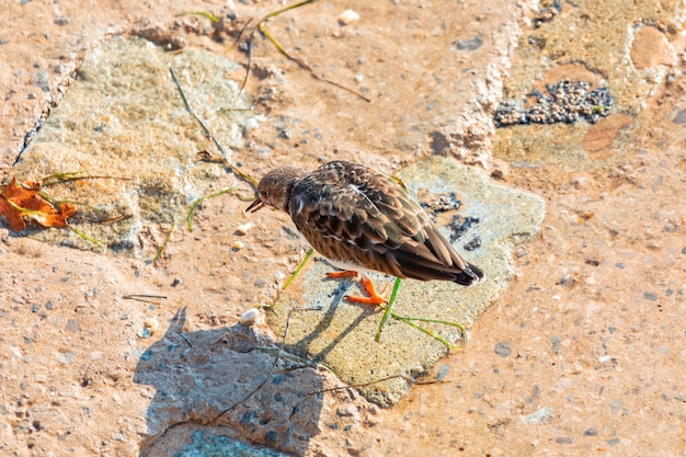 岩の上を歩いて食べ物を探すターンストーンコモン(arenaria通訳、ターンストーン)