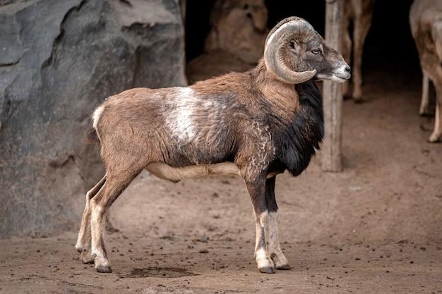 アラスカ(オヴィス・アンモニア)の羊は、岩、アラスカ州高速道路、北ロッキー地方自治体、 Premium写真