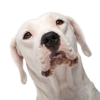 Argentine dogo with 18 months. dog portrait isolated
