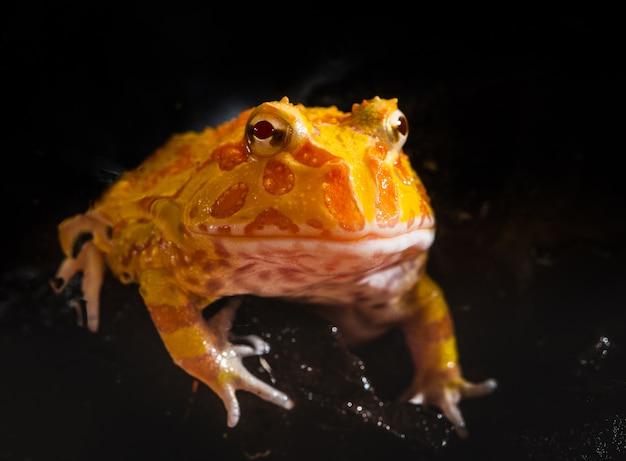 Аргентинская рогатая лягушка или лягушка pac-man являются наиболее распространенными видами рогатой лягушки