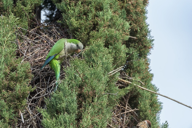 Argentine parrot next to its nest in a pine