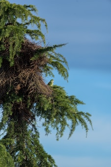 Argentine parrot next to its nest on top of a pine tree