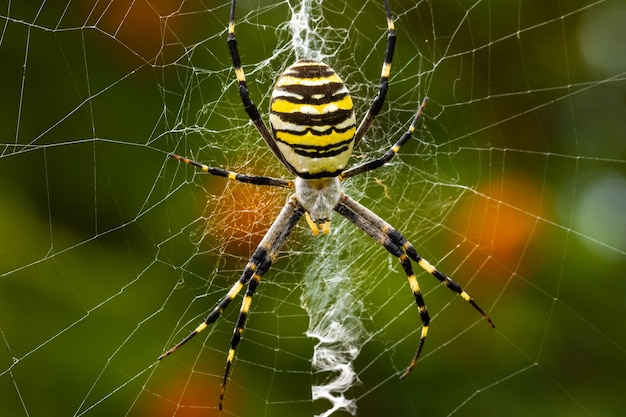 Argiope bruennichi. the predatory wasp spider entangles its prey in a web.