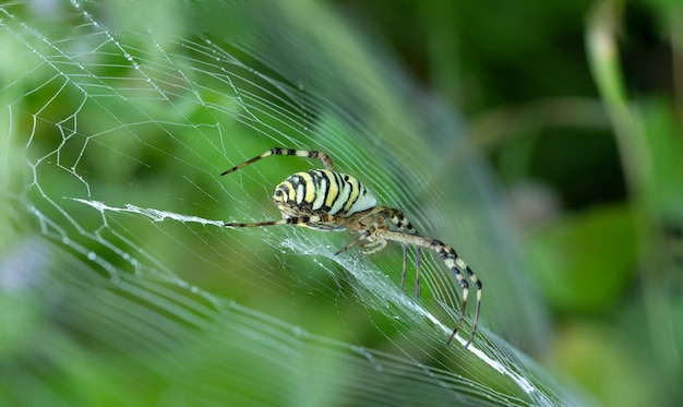 Argiope bruennichi sits in the garden on a cobweb tiger spider with red and yellow stripes on the abdomen.