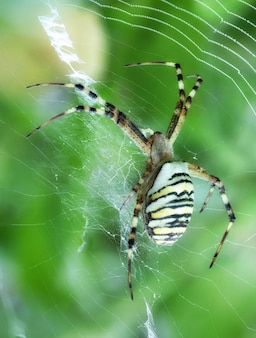 Argiope bruennichi сидит в саду на паутине-тигре с красными и желтыми полосами на брюшке.