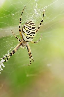 Argiope bruennichi, 거미