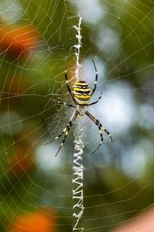 아르지오페 브루엔니치. 약탈적인 말벌 거미는 먹이를 거미줄에 엮습니다.