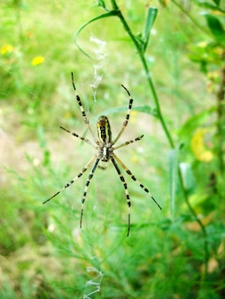 Оса-паук (argiope bruennichi) на своей паутине