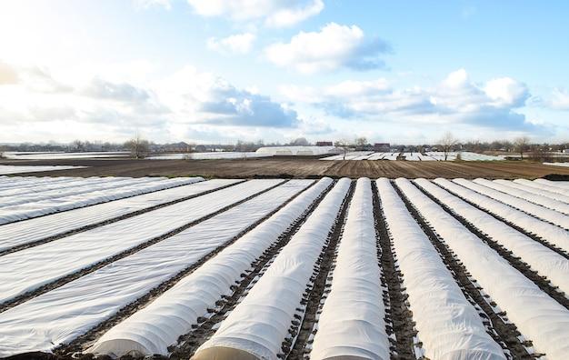 흰색 스펀본드 스펀레이드 부직포 농업용 직물이 늘어선 감자 농장의 전경