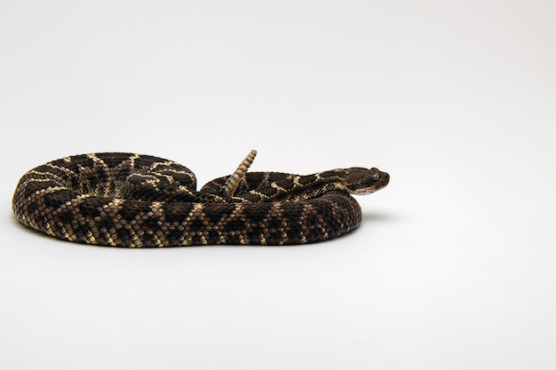 Arizona black rattlesnake coiled and isolated on a white wall