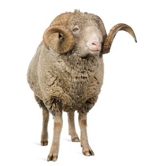 Овцы арль мерино, баран, стоя