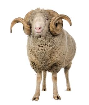Arles merino sheep, ram, standing