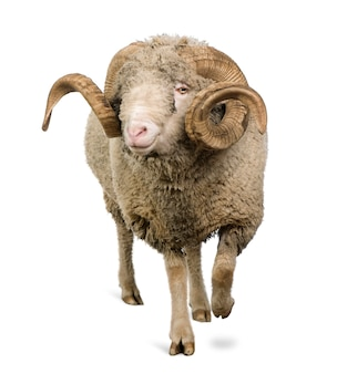 Овцы арль мерино, баран, прогулка