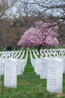 Arlington national cemetery with beautiful cherry blossom and gravestones, washington dc, usa
