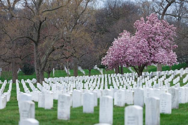 Arlington national cemetery with beautiful cherry blossom and gravestones washington dc, usa