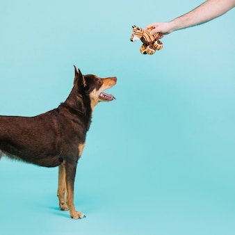 Arm giving toy to dog