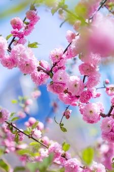 Aroma and fragrance. spring season. tenderness. branch of sakura. perfumery concept. sakura flowers. sakura flowers on background close up. floral backdrop. botanical garden concept. tender bloom