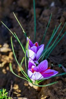 향신료 수확을 위해 자라는 향기로운 꽃 사프란. 농업.