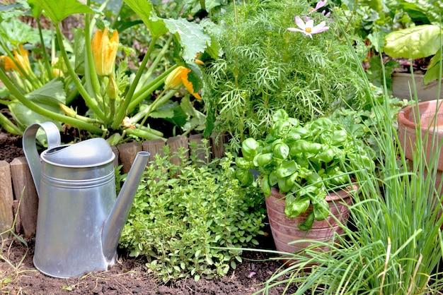 화분에 담긴 향기로운 식물과 바질은 정원에 골파와 오리가노가 있는 흙 위에 놓여 있습니다