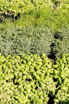 Aromatic plant market rosemary sage mint parsley thyme basil savory oregano curry gras