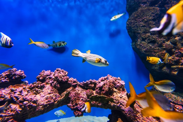Arothron fish and other exotic tropical fish swim in the blue water