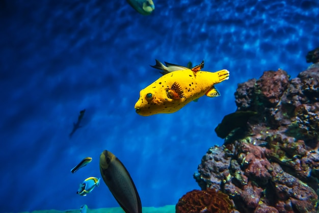 Arothron nigropunctatus fish swim in the blue water
