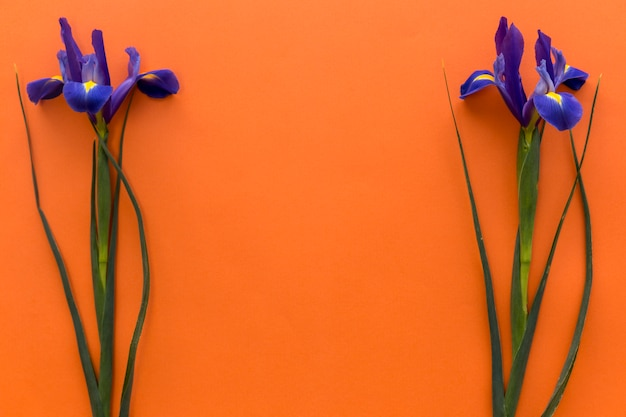 컬러 배경 위에 아이리스 꽃의 배열