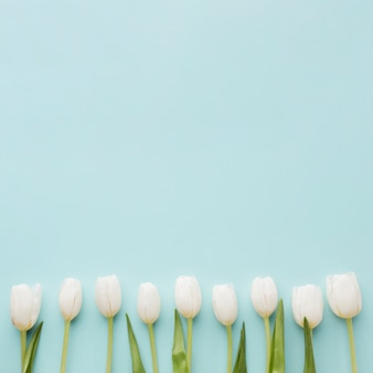 Arrangement of white tulip flowers on blue copy space background