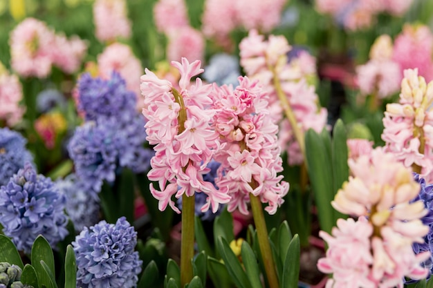 Arrangement with colourful hyacinths