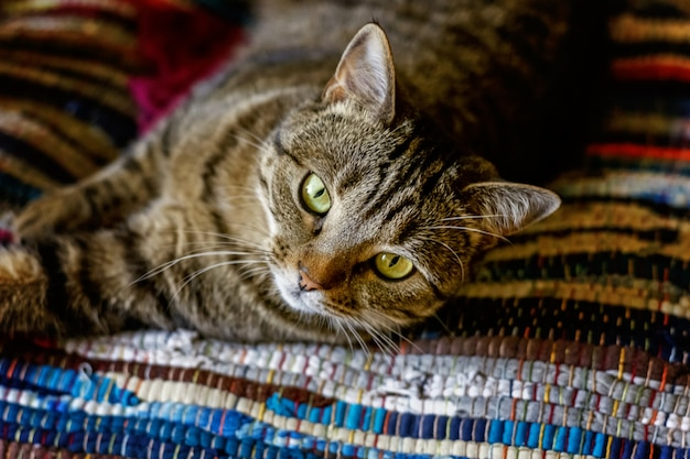 Arrogant short-haired domestic beautiful tabby cat lying on the fluffy striped carpet