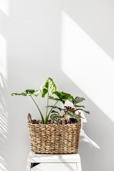Arrowleaf elephant ear leaf in a basket by a white wall