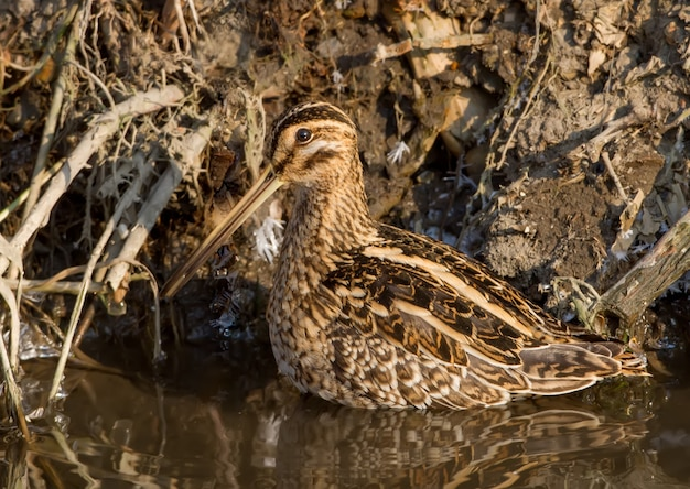 Art of camouflage. common snipe stands on the water