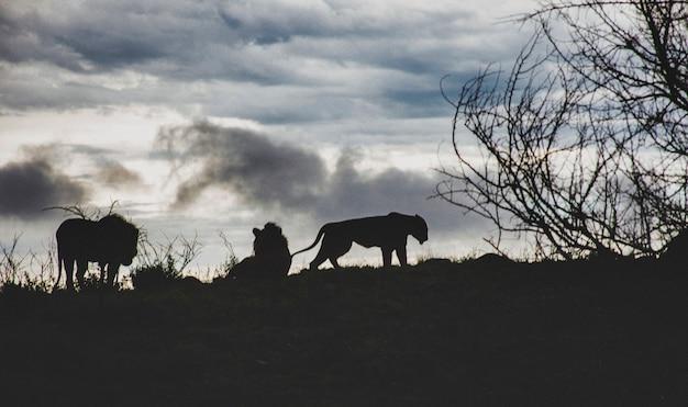 アートノイズフィルムグレインエフェクト。南アフリカのサバンナの丘の上に沈む夕日の3匹のライオン。日の出の間の驚くべき野生動物の背景。 rsaの南アフリカでの休日