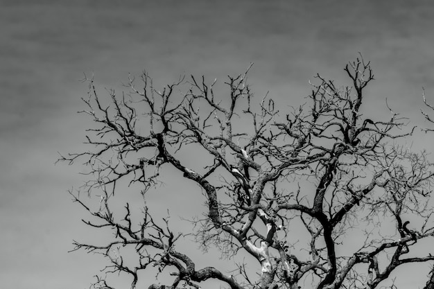 Art picture of dead tree with branches. death, sad, lament, hopeless, and despair. drought of the world from the global warming crisis. natural death. black and white photo of dead tree.