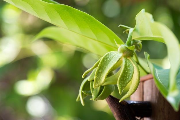 Artabotrys siamensis or climbing ylang-ylang flower on natural surface.