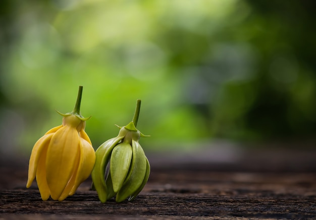 Artabotryssiamensisまたは自然の表面でイランイランの花を登る。